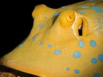 一条青被察觉的黄貂鱼的特写镜头 图库摄影