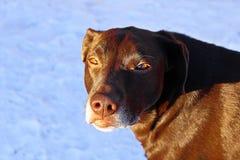 一条非常严肃的看的狗有雪背景 库存照片