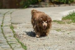 一条非常老狗在街道上走 库存照片