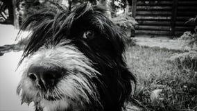 一条非常逗人喜爱和可爱的黑白狗 库存图片