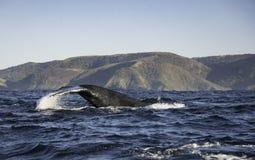 一条驼背鲸的尾巴比目鱼沿海岸线南非的 库存照片