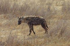 一条鬣狗在非洲 免版税库存图片