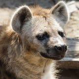 一条鬣狗的画象在动物园里 库存照片