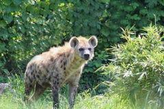 一条鬣狗 免版税库存照片