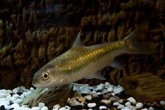 一条鱼在水中 免版税库存图片