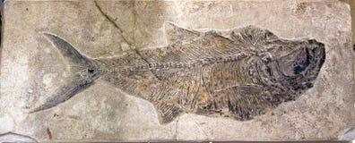 一条鱼的化石在石头的 库存照片