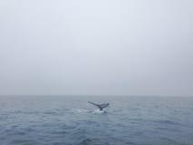 一条鲸鱼的尾巴在冰岛在欧洲 免版税库存照片