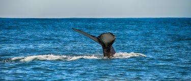 一条鲸鱼的尾巴在Husavik,冰岛 库存图片