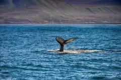 一条鲸鱼的尾巴在Husavik 免版税库存图片