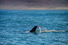 一条鲸鱼的尾巴在Husavik 免版税图库摄影