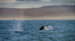 一条鲸鱼的尾巴在Husavik 免版税库存照片