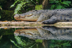 一条鳄鱼在森林里 库存图片