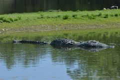 一条鳄鱼在水中 库存照片