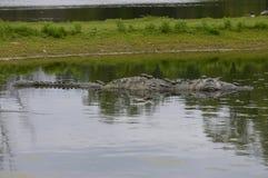 一条鳄鱼在水中 免版税库存图片