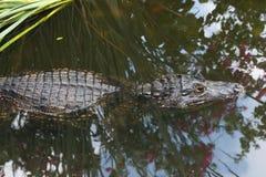 一条鳄鱼在水中 免版税图库摄影