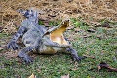 一条鳄鱼的图象在草的 图库摄影