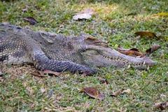一条鳄鱼的图象在草的 免版税图库摄影