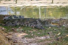 一条鳄鱼的图象在草的 库存图片