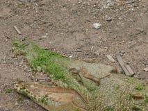 一条鳄鱼的头的部份看法与开放嘴的,可看见在更低的上颚和牙 图库摄影