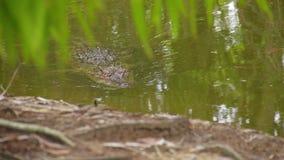 一条鳄鱼的射击在沼泽的 股票录像