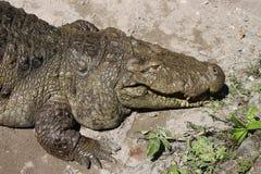 一条鳄鱼的特写镜头在动物园里 免版税图库摄影