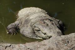 一条鳄鱼的特写镜头在动物园里 库存照片