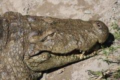 一条鳄鱼的特写镜头在动物园里 库存图片