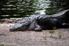 一条鳄鱼的特写镜头在土地的 免版税库存图片