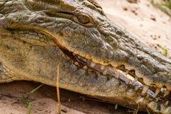 鳄鱼的特写镜头照片 免版税库存图片