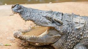 一条鳄鱼的特写镜头照片与开放下颌的 库存照片