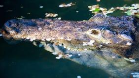 一条鳄鱼的头在动物园的一个池塘 免版税库存照片