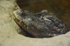 一条鳄鱼的头在水外面的 免版税库存图片