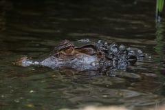 一条鳄鱼 免版税库存图片
