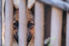 一条黑和棕色泰国狗的特写镜头图象在一只木笼子的 免版税库存照片