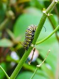一条黑和黄色蝴蝶毛虫的特写镜头 免版税库存照片