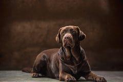 一条黑拉布拉多狗的画象被采取反对一个黑暗的背景 库存照片