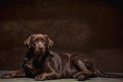 一条黑拉布拉多狗的画象被采取反对一个黑暗的背景 免版税库存照片