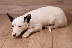 一条黑白狗等待他的所有者 无家可归的动物的问题 库存图片