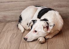 一条黑白狗等待他的所有者 无家可归的动物的问题 免版税图库摄影