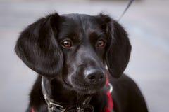 一条黑逗人喜爱的狗的画象在法国样式的 库存照片