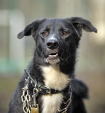 一条黑白不纯血统狗的画象。 库存照片