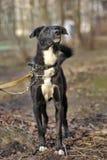 一条黑白不纯血统狗的画象。 免版税库存图片