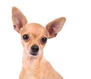 一条滑稽的玩具狗的照片在白色背景的 图库摄影