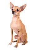 一条滑稽的玩具狗的照片在白色背景的 免版税库存图片