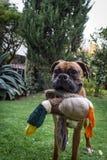 一条滑稽的逗人喜爱的拳击手狗在拿着玩具鸭子的庭院里 库存图片