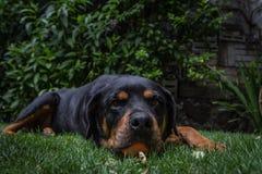 一条滑稽的逗人喜爱的Rottweiler狗在拿着玩具球的庭院里 免版税库存照片