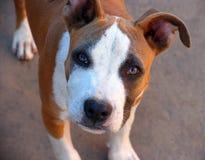 一条年轻美国斯塔福德郡狗的画象 免版税库存图片