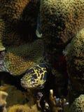 一条黄色和黑色的链海鳗, Meiss,博内尔岛伍长 库存照片