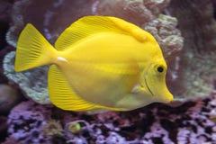 一条黄色特性鱼 库存照片