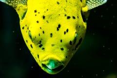 一条黄色鱼 免版税库存图片